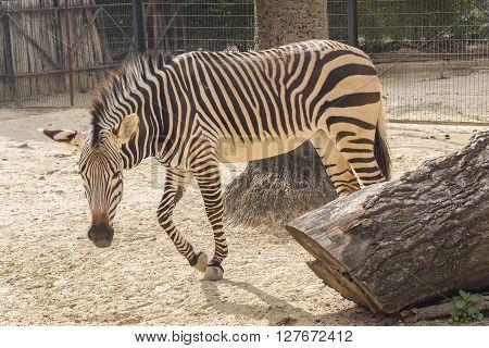 Equus quagga Plains zebra, resting relaxed under the sun