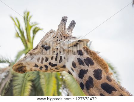 Giraffa camelopardalis Giraffe, resting relaxed under the sun