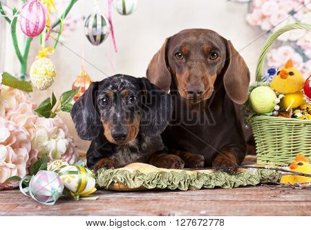 Dachshund rabbit and Easter eggs