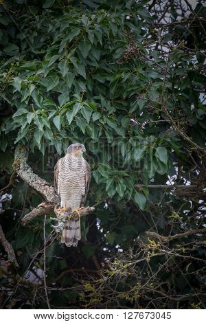 Wild sparrowhawk caught sitting on branch in tree ** Note: Visible grain at 100%, best at smaller sizes