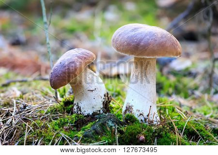 Nice two mushrooms in forest