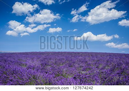 Lavender field in the region of Provence, southern France ** Note: Visible grain at 100%, best at smaller sizes