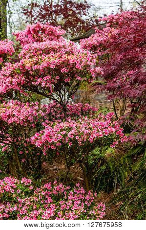 Many Pink Azaleas in full bloom in garden