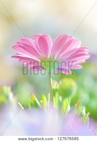 Closeup photo of a beautiful pink daisy flower, romantic floral field, soft focus natural background, beauty of spring nature