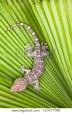 Spotted gecko on a green leaf palm. Tropical.
