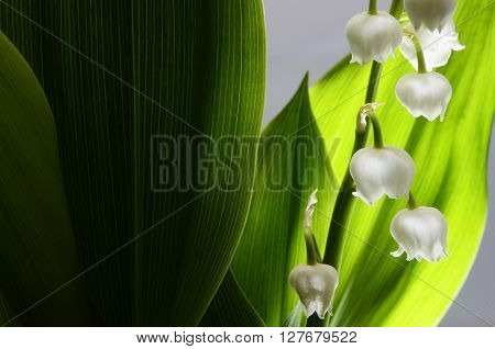 Close up of Lily of valley flower and green leaves