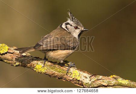 Crested tit in natural habitat (Lophophanes cristatus)