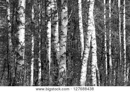 birch forest, black and white photo, beautiful landscape