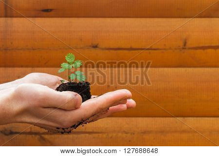 girl holding a strawberry seedlings on a yellow wooden background