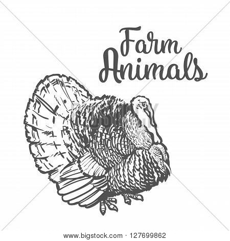 One feathered turkey bird, sketch style hand-drawn, vector farm animal home winged bird feathered turkey with white tail, one on a white background, realistic sketch turkey products for food