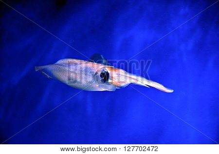 Transparent cuttlefish swimming in dark blue background