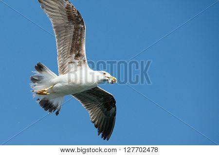 Seagull flying with fish to be caught holding it in its beak ** Note: Soft Focus at 100%, best at smaller sizes