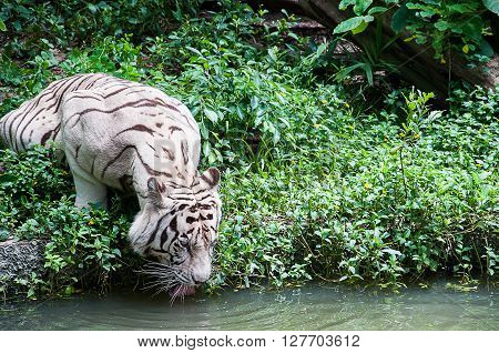 A shot of white tiger (albino) drinking water