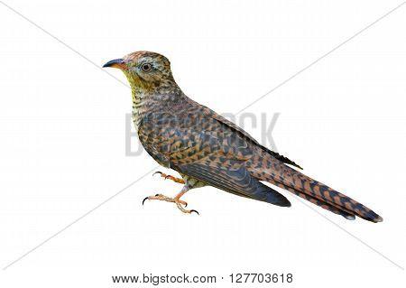 Beautiful bird female of Plaintive Cuckoo (Cacomantis merulinus) on white background.