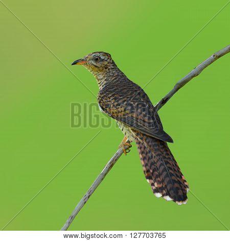 Plaintive Cuckoo Bird