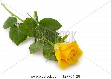 Single yellow rose isolated on white background.