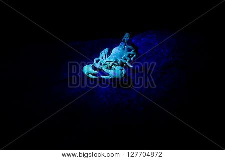 Scorpion In An Uv Light.