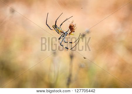 Female Golden-orb Spider In A Web With Her Prey In The Selati Game Reserve.