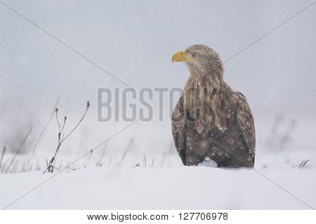 White Tailed Eagle (haliaeetus Albicilla) In Winter Scenery
