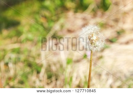 Dandelion flower with blur background., Dandelion flower in spring time