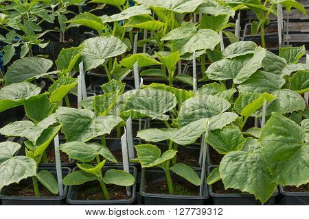 Young cucumber plants ready for plant out