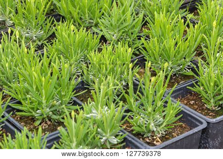 Young lavender seedlings grown in pots ready for planting out.