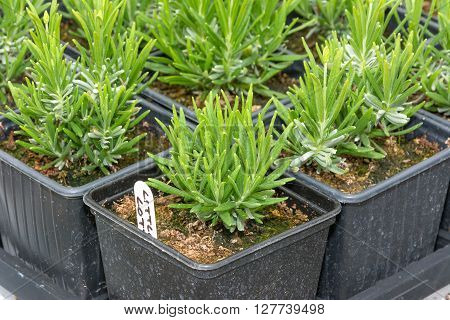 Young lavender seedlings grwon in pots ready for planting out.