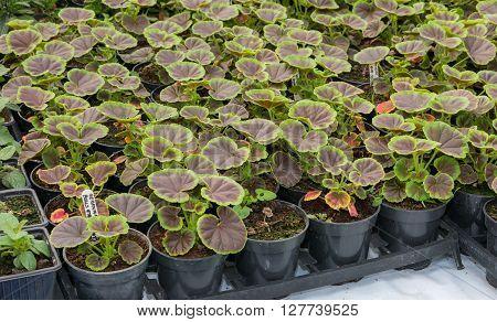 Pots of young tender pelagonium geranium plants