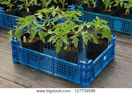 Young tomato plants in pots ready for planting