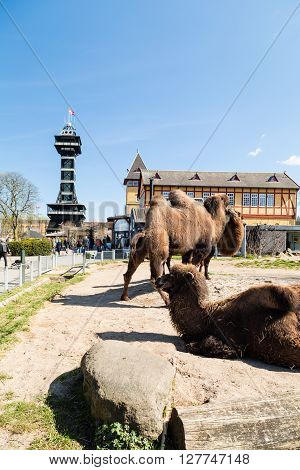 Camels In Copenhagen Zoological Garden