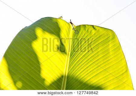 Sun shining through the banana leaf. Texture of banana leaf