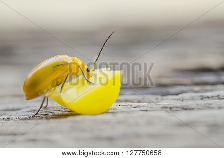 Close up yellow insect on corn seeds