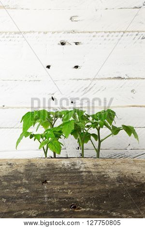 Young Green Shoots Of Minibel Tomato Ornamental Plant White Background