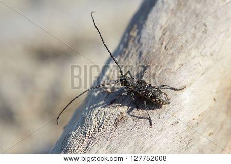 Beetle monochamus is crawling on the tree