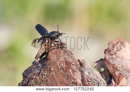 Beetle longhorn beetle is preparing to fly