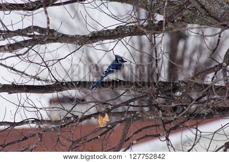 a blue jay taking a break from feeding.