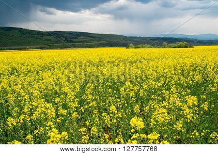 Blossoming rape. Agricultural field with blossoming rape.