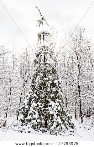 christmas tree after snowfall in a moody winter setting