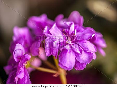 Macro of Ivy-leaf geranium Pelargonium peltatum flower. Selective focus.