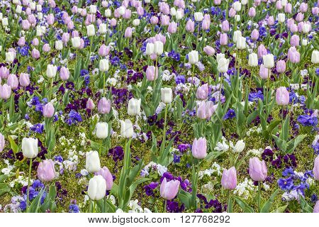 Pink And White Tulips Field In Spring Season
