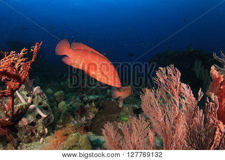 Coral Grouper fish on underwater reef in ocean