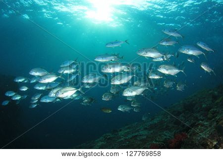 School of Bigeye Trevally fish in ocean