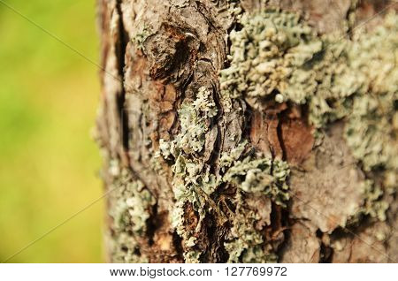 tube lichen (Hypogymnia physodes) growing on tree