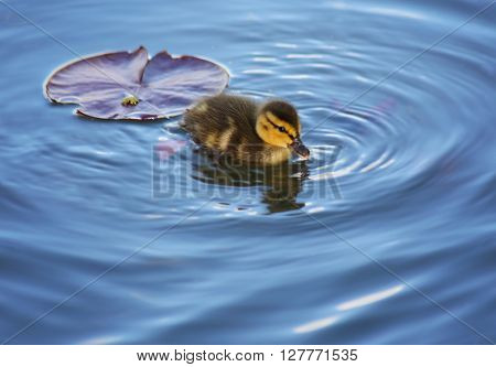 (SHALLOW DOF) a baby duckling swimming in a pond at a local park with a lily pad floating behind in the water