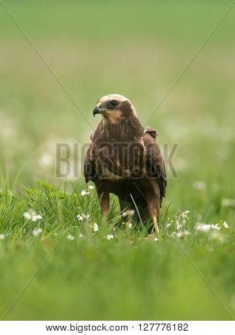 Marsh Harrier (circus Aeruginosus) In Spring Scenery
