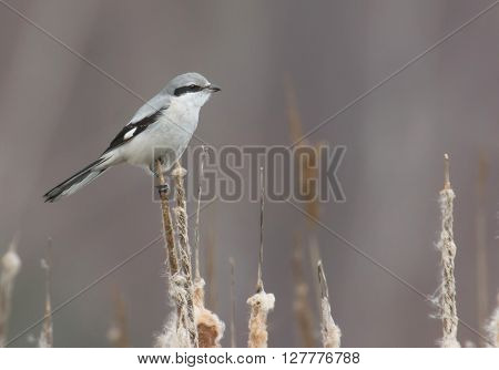 Northern Shrike the Butcher Bird Lanius excubitor Great Grey Gray Shrike