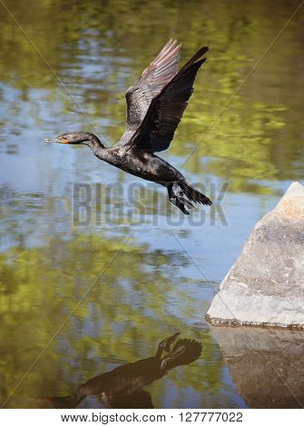 (SHALLOW DOF) a cormorant with its wings out taking flight in a wildlife park with a large pond