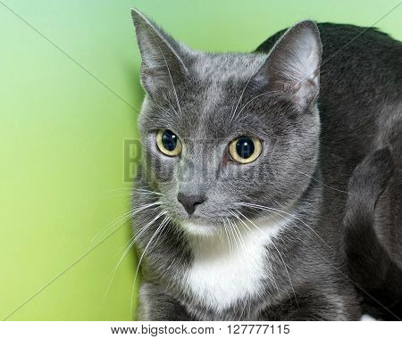 Gray And White Tabby On Green And Yellow Background