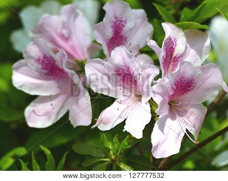 Flower of the azalea which colors a season from spring to early summer.