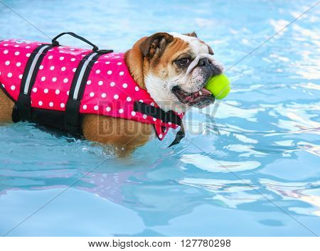 a bulldog in a pink polka dot life vest chewing on a tennis ball having fun at a local public pool